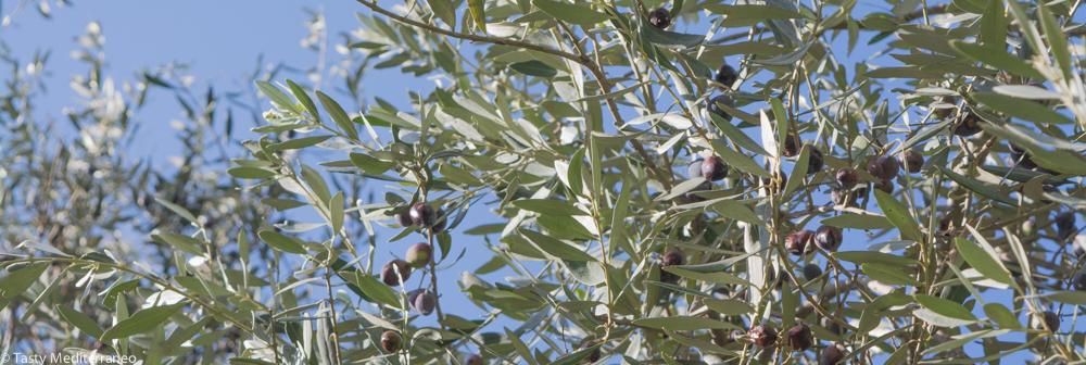Tasty-Mediterraneo-olive-tree-Beirut