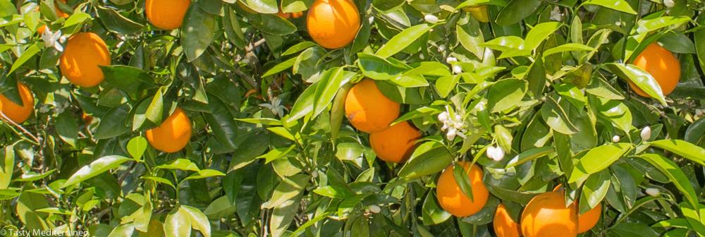 Tasty-Mediterraneo-orange-tree-Mallorca
